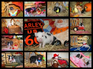 adopted-piggies-collage-1