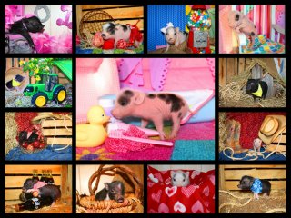 adopted-piggies-collage-2