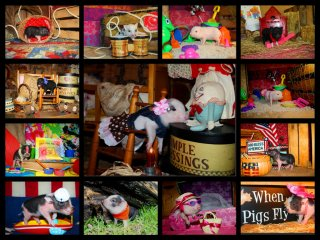 adopted-piggies-collage-3