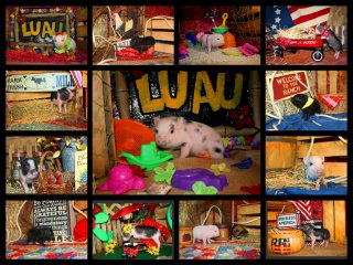 adopted-piggies-collage-4