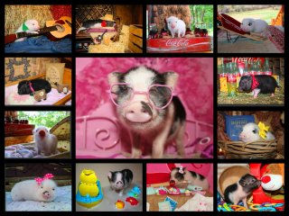 adopted-piggies-collage-5